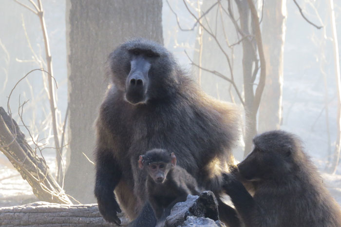 high baboon mortalities in Cape fires