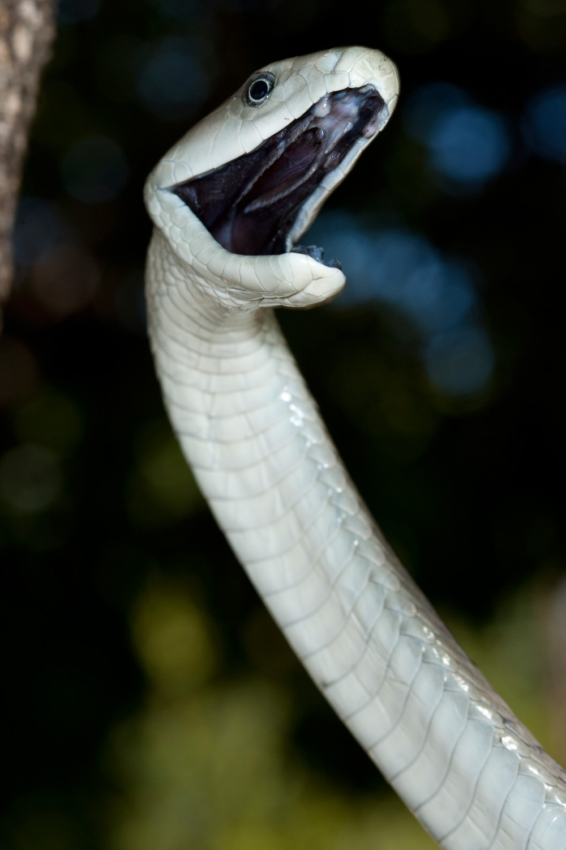 Black-Mamba-2-(Dendroaspis-polylepis)-from-Hoedspruit.-Pic-Johan-Marais-(76a)