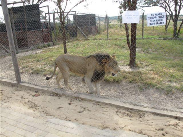 Captive Lions