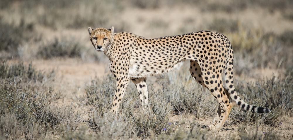 Cheetah-corlette-Wessels
