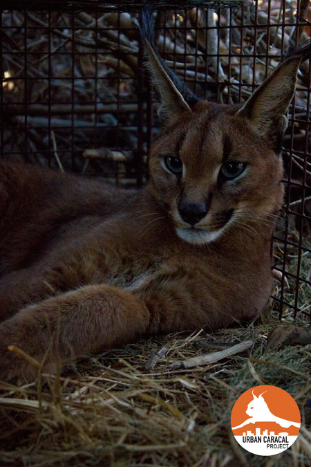 Jasper relaxes in his capture cage at the time of his humane capture in April.