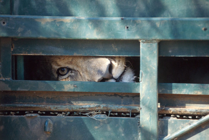 Lion-in-crate--1024x687