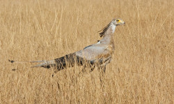 The secretarybird shortly after release.
