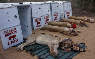 lion relocation to Akagera