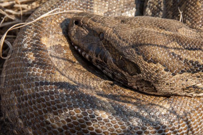 african-rock-python-dead-snake