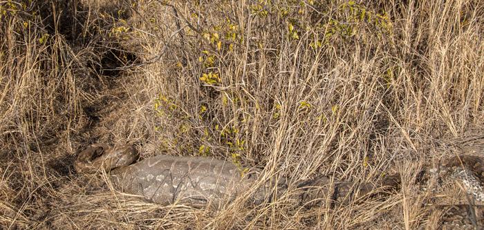 african-rock-python-madikwe-game-reserve