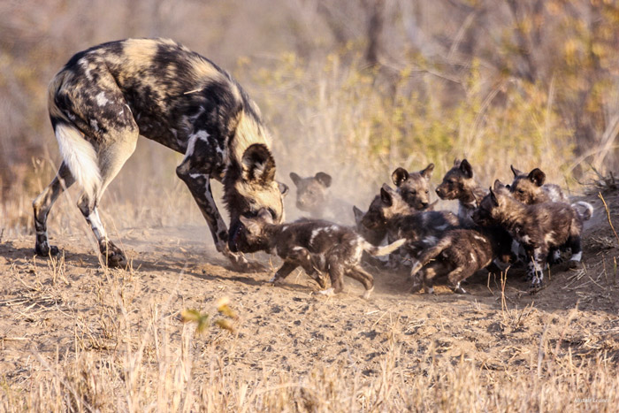 african wild dog pups wallpaper