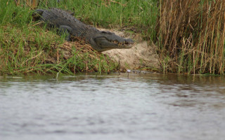 Crocodile nests discovered in Angola