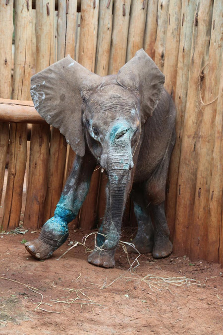 Baby elephant killed before he even learned to use his ...