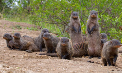 Female mongooses risk injury for good genes for their offspring