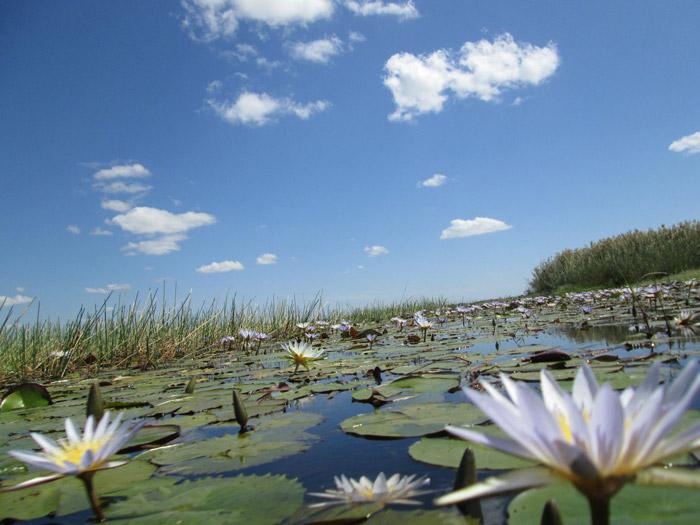 bangweulu-lilies
