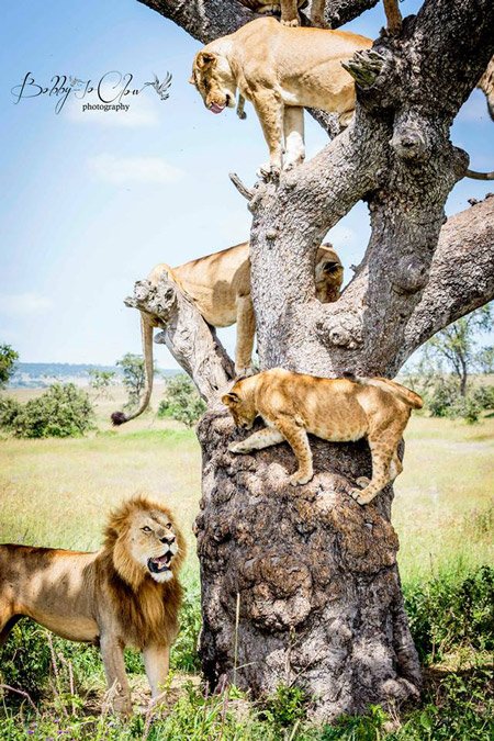 bobby-jo-clow-photography-lions