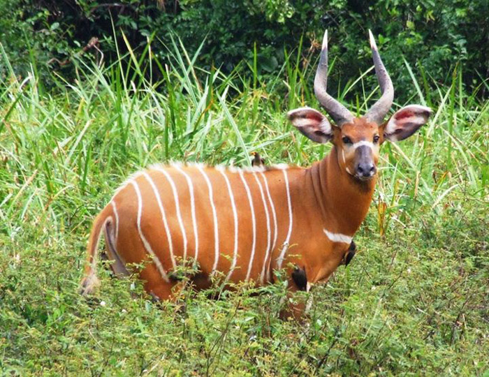10 Reasons To Be Bonkers About Bongos Africa Geographic