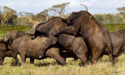 buffalo-threesome-jahawi-bertolli