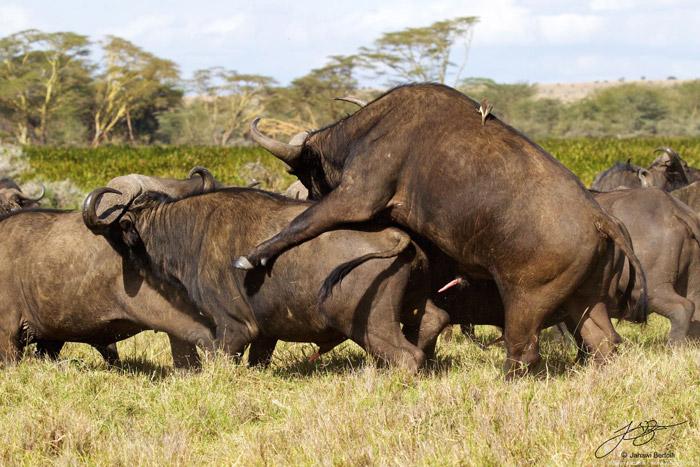 buffalo-threesome-lewa-wildlife-conservancy
