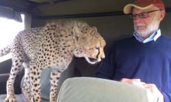 cheetah in vehicle