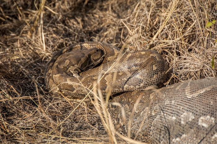 corlette-wessels-african-rock-python
