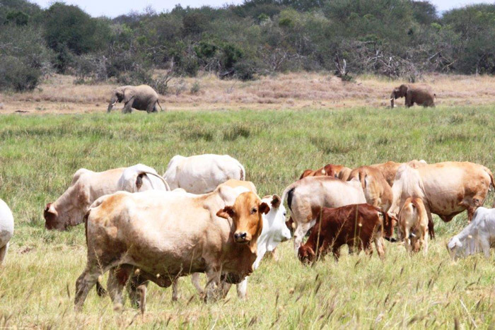 cattle in Laikipia