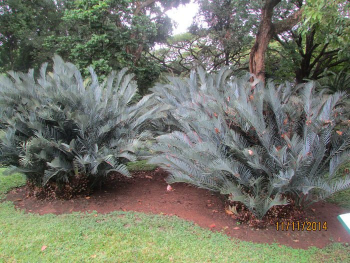 Protected cycads