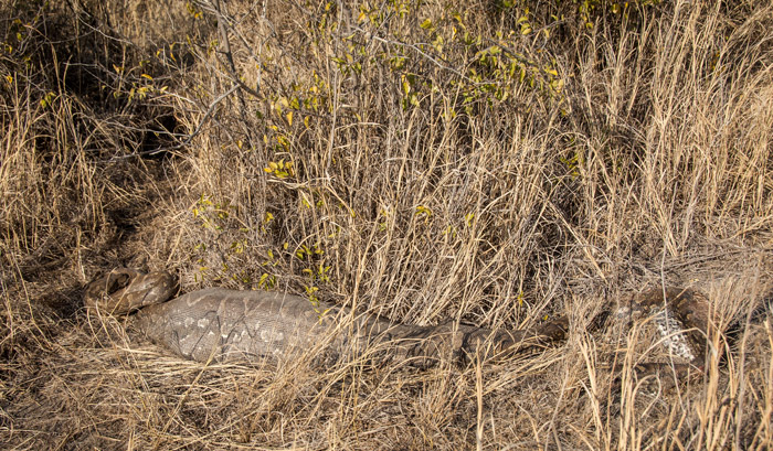 dead-african-rock-python-in-madikwe-corlette-wessels