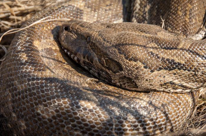 dead-python-madikwe