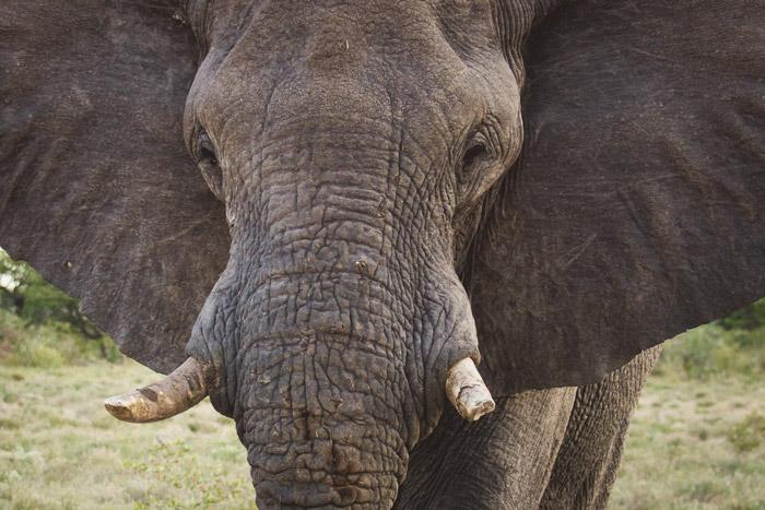 desert-adapted-elephant-etosha