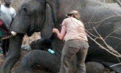 vets remove snare from elephant's leg