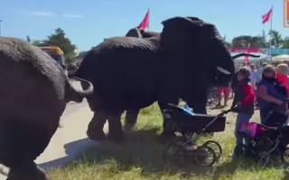elephants-circus-denmark-rampage