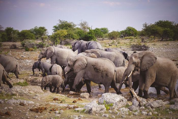 elephants-etosha-namibia