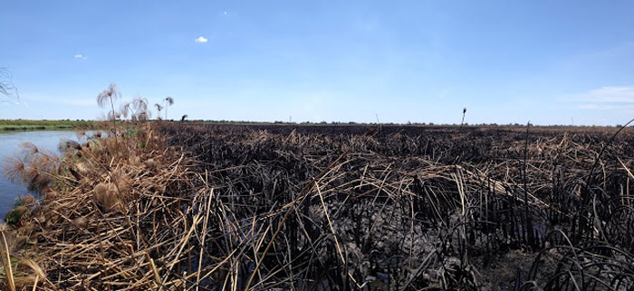 crocodile nests threatened by fire