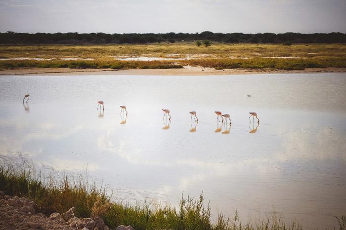 flamingos-etosha-national-park