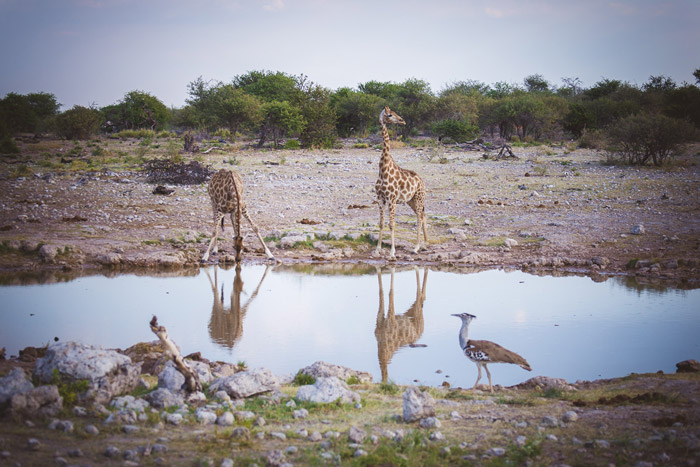 giraffe-etosha-pan