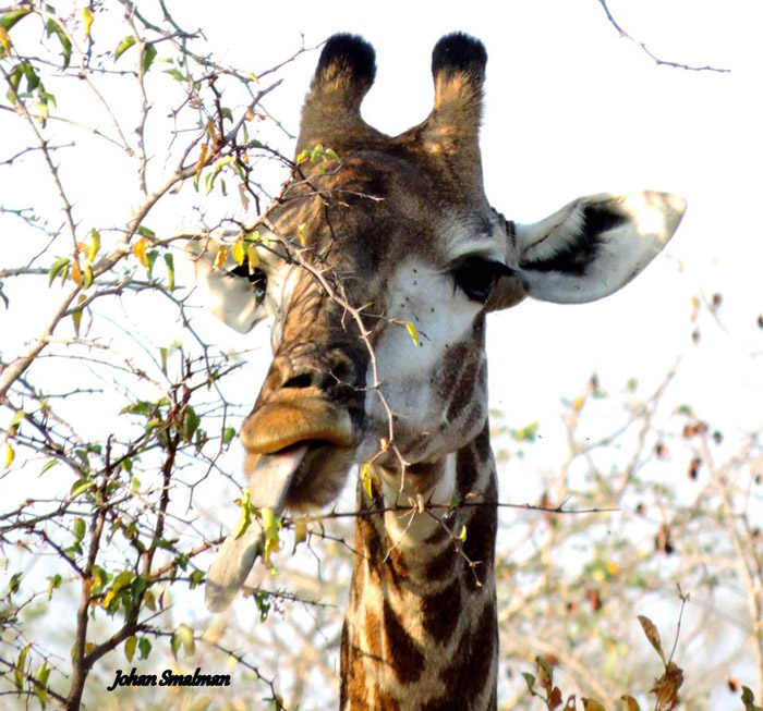 Wildlife within the greater Kruger National Park - Africa ...