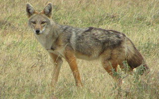 Meet the African golden wolf, Canis anthus, the most recently discovered canid species in Africa. © D. Gordon E. Robertson/Klaus-Peter Koepfli & John Pollinger et al./Current Biology 2015