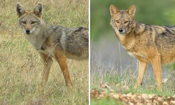 Same or different? The African golden wolf, Canis anthus (left) and Eurasian golden jackal, C. aureus (right), were originally thought to be the same species, formerly known as the golden jackal. © D. Gordon E. Robertson, and Yaki Zander/Klaus-Peter Koepfli & John Pollinger et al./Current Biology 2015
