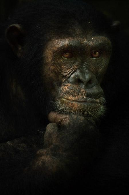 Chimpanzee in Tanzania