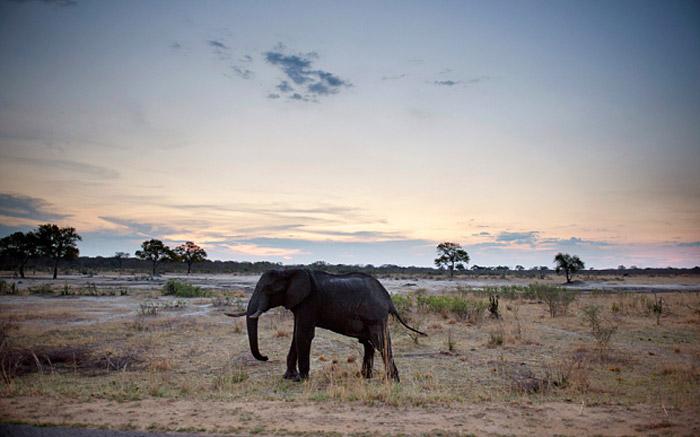An African elephant in Hwange National Park, Zimbabwe. © AFP