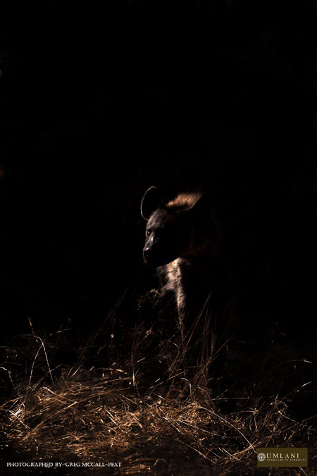 hyena-at-night