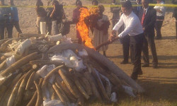 burning ivory and rhino horn in Mozambique