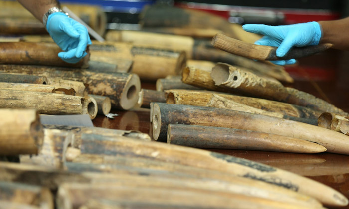 smuggled ivory tusks in Thailand