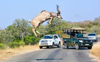 jumping-kudu