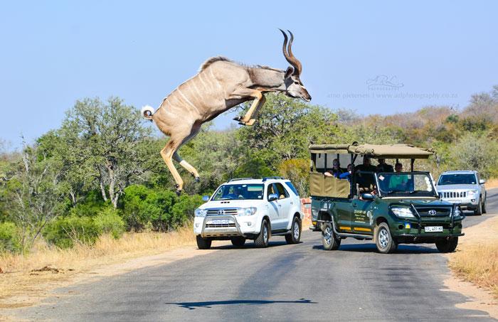 A Kudu High Jump Africa Geographic