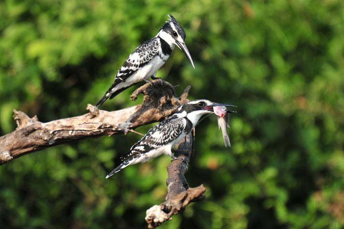 Pied kingfishers on Kazinga Channel in Queen Elizabeth National Park, Uganda. © Pim Stouten