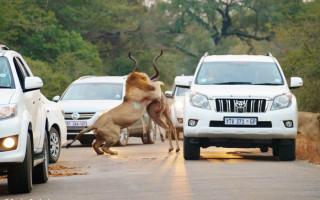 Lion kill