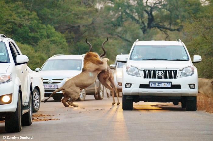 kudu-cars-kruger