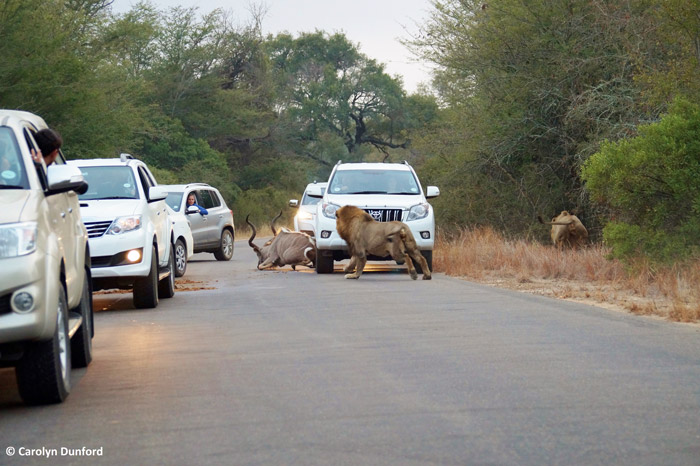 Kudu killed between cars in kruger africa geographic for Chaise auto