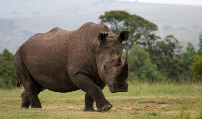 Lalibela rhino saved from trophy hunt - Africa Geographic