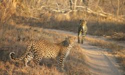 leopard-cheetah-plain-road