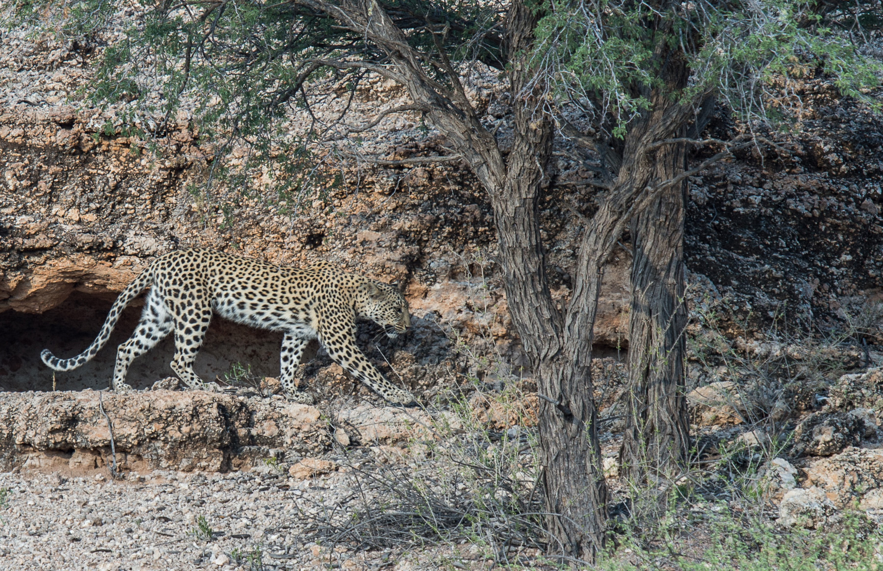 leopard-corellte-wessels2