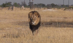 Cecil the lion in Hwange National Park. ©Bryan Orford, YouTube